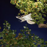 Southern Flying Squirrel (Glaucomys Volans) Taking Off  Captive