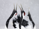 Red-Crowned Cranes (Grus Japonensis) Displaying And Calling In Snow  Hokkaido  Japan  February