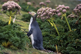 Yellow-Eyed Penguins (Megadyptes Antipodes) Walking Amongst Anisotome Megaherbs