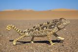 Namaqua Chameleon (Chamaeleo Namaquensis)  Namib Desert  Namibia  April