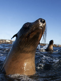 Cape Fur Seal (Arctocephalus Pussilus) Portrait  At Water Surface  Seal Island