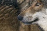 Grey Wolf (Canis Lupus) Close Up  Captive