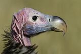 Lappet-Faced Vulture (Torgos Tracheliotus) Profile  Masai-Mara Game Reserve  Kenya
