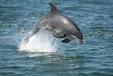 Bottlenose Dolphin (Tursiops Truncatus) Porpoising  Sado Estuary  Portugal