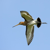 Male Black-Tailed Godwit (Limosa Limosa) In Flight  Marais Breton  Brittany - Bretagne