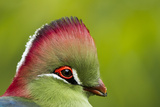 Red-Crested Turaco (Tauraco Erythrolophus) Captive At Zoo Endemic To Western Angola
