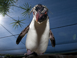 Southern Rockhopper Penguin (Eudyptes Chrysocome) Tame Bird 'Rocky' Used For Educational Purposes