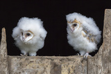 Barn Owl Chicks (Tyto Alba) Cumbria  June Captive
