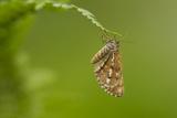 Bordered White (Bupalus Piniaria) Adult Moth On Fern  Sheffield  England  UK  June