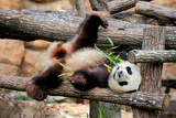 Giant Panda (Ailuropoda Melanoleuca) Lying On Climbing Frame Eating Bamboo