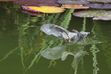 Brown Long-Eared Bat (Plecotus Auritus) Drinking From A Lily Pond   Surrey  UK