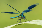 Male Banded Demoiselle (Calopteryx Splendens)  Resting On Reed  Lower Tamar Lakes