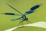 Male Banded Demoiselle (Calopteryx Splendens), Resting On Reed, Lower Tamar Lakes Papier Photo par Ross Hoddinott