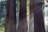 Trunks Of Giant Sequoia Trees (Sequoiadendron Giganteum) Sequoia National Park  California  USA