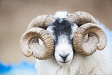 Black Faced Sheep Ram With Twisted Horns  Mull  Scotland  UK January