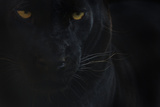Close Up Head Portrait Of Melanistic - Black Leopard (Panthera Pardus) Captive