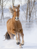 Chestnut Mustang Running In Snow  At Ranch  Shell  Wyoming  USA February