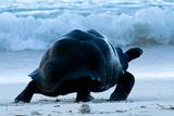 Aldabra Giant Tortoise (Geochelone Gigantea) Walking Along The Sea Shore  Aldabra Atoll  Seychelles