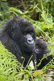 Mountain Gorilla (Gorilla Gorilla Beringei) Mother Holding Baby Twins Age Five Months