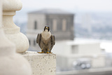 Peregrine Falcon (Falco Peregrinus) Perched On City Hall  Philadelphia  Pennsylvania  USA  May