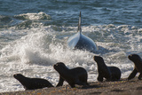 Orca (Orcinus Orca) Hunting Sea Lion Pups  Peninsula Valdez  Patagonia Argentina