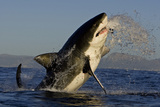 Great White Shark (Carcharodon Carcharias) Breaching Whilst Attacking Seal Decoy