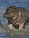 Baby Hippopotamus (Hippopotamus Amphibius) Playing In Water  Chobe River  Botswana