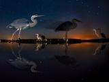 Herons At Night On Lake Csaj  Kiskunsag National Park  Hungary Winner Of The Birds Category