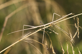 European Stick Insect On Grass (Bacillus Rossius) Mediterranean  Italy  Europe