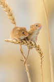 Harvest Mice (Micromys Minutus) On Wheat Stems  Devon  UK