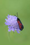 Moth (Zygaena Osterodensis) Feeding On Flower  Viscos  Pyrenees National Park  France  July