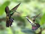 Black-Throated Mango Hummingbird (Anthracothorax Nigricollis) Male And Female In Flight