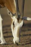 Scimitar-Horned Oryx (Oryx Dammah), Dubai Desert Conservation Reserve, Dubai, Uae Papier Photo par Staffan Widstrand