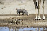 Ostrich Chicks (Struthio Camelus) Etosha Np  Namibia Giraffe Legs And Distant Warthog