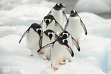 Gentoo Penguins (Pygoscelis Papua) Group Walking Along Snow  Cuverville Island