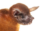 Greater Bulldog Bat (Noctilio Leporinus) Portrait, Surama, Guyana. Meetyourneighbours.Net Project Papier Photo par Andrew Snyder