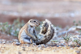 Ground Squirrel (Xerus Inauris) Sitting On Tail  Kgalagadi Transfrontier Park  Northern Cape