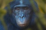 Bonobo (Pan Paniscus) Captive  Portrait  Occurs In The Congo Basin Leaves Digitally Added