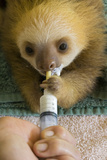 Hoffmann'S Two-Toed Sloth (Choloepus Hoffmanni) Orphaned Baby Bottle Feeding