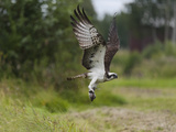 Osprey (Pandion Haliaetus) Flying With Fish Prey  Pirkanmaa  Finland  August