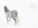 Horse In Snow Storm With Shed In Background  USA