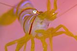 A Portrait Of A Small Candy Stripe Shrimp (Lebbeus Grandimanus) Papier Photo par Alex Mustard