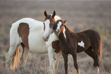 Wild Mustang Pinto Foal Nuzzling Up To Mother  Sand Wash Basin Herd Area  Colorado  USA