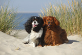 Cavalier King Charles Spaniels With Tricolor And Ruby Colourations On Beach  Texel  Netherlands