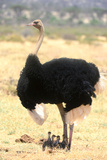 Male Ostrich (Struthio Camelus) Protecting Chicks From The Sun With Its Wings