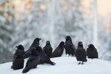 Common Raven (Corvus Corax) Group On Snow In Forest Clearing  Utajärvi  Finland