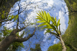 Ash Tree (Fraxinus Excelsior) Fish Eye View Of Newly Emerged Leaves  Derbyshire  UK  May