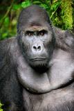 Silverback Male Eastern Lowland Gorilla (Gorilla Beringei Graueri)