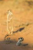 Meerkat (Suricata Suricatta) Emerging From Burrow  Kgalagadi Transfrontier Park  Northern Cape
