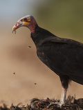 Turkey Vulture (Cathartes Aura) Feeding On Roadkill With Flies In The Air  Pantanal  Brazil